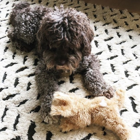 REGRAM - designer dog, George, from @csinteriordesign...